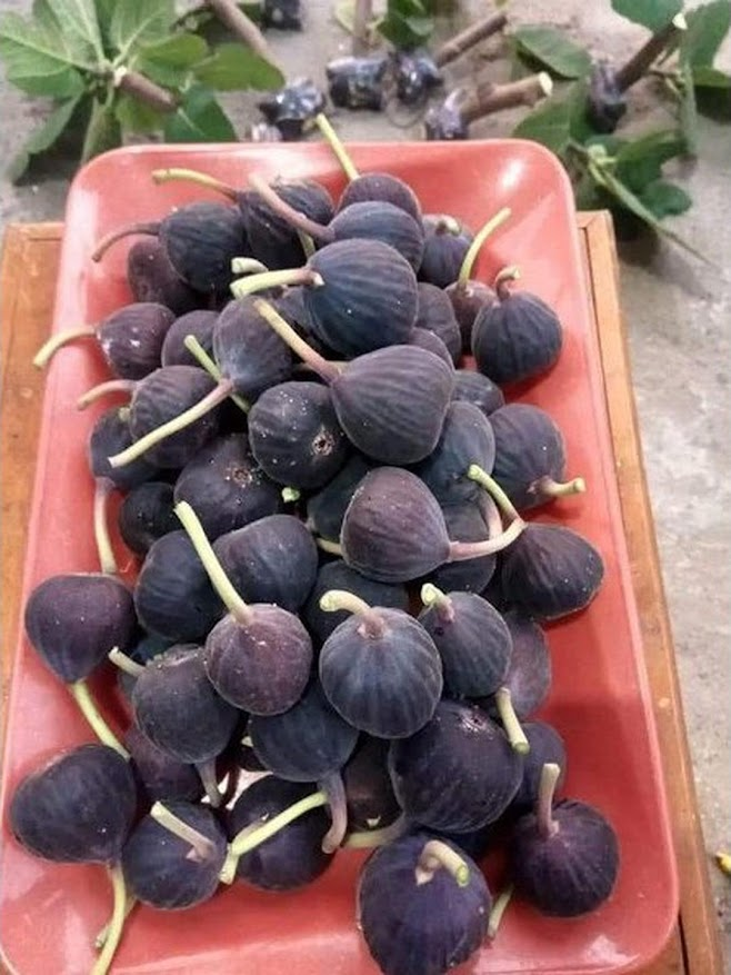Bibit tanaman Bibit buah tin iraqi Terlaris Jawa Tengah