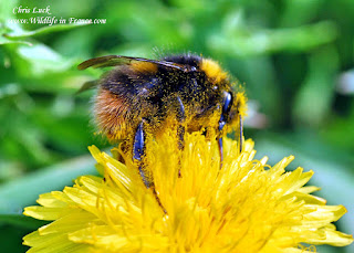 Bombus pratorum France