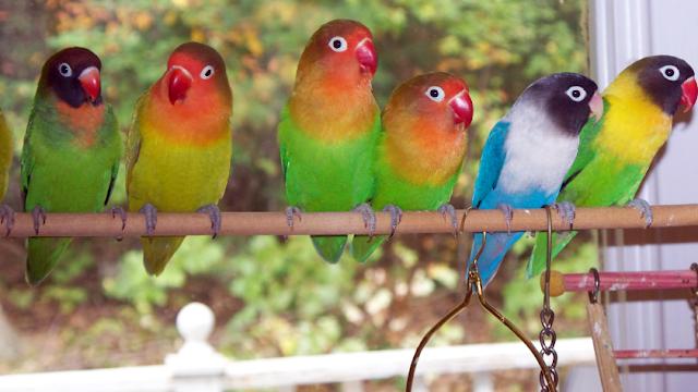 Trik Cepat Sukses Budidaya Burung Lovebird