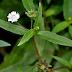 Cỏ mực, cây cỏ mực có tác dụng gì?
