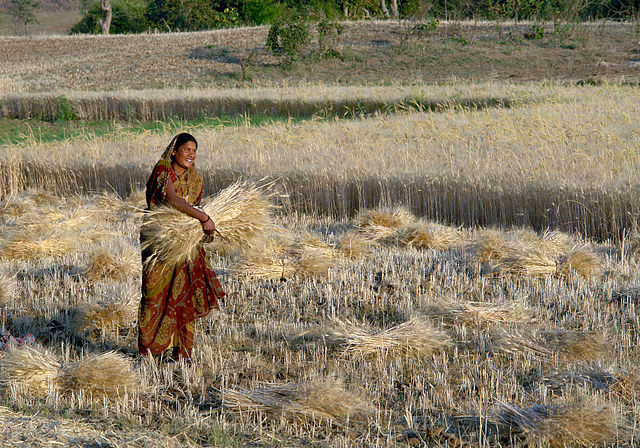 An Indian female farmer holding the Rice thash