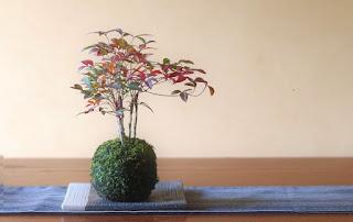 山野草盆栽教室 睦草の1月の教材 ナンテン