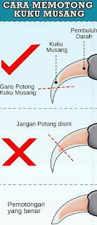 Cara Memotong Kuku Musang