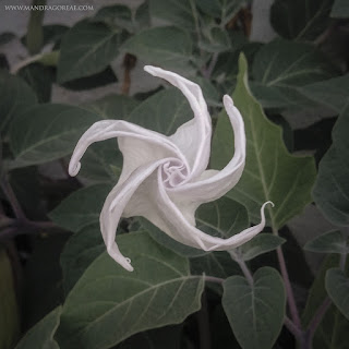 Datura Inoxia, Sacred Datura, Pricklyburr, Indian-apple, Downy thorn-apple, Moonflower, Recurved thorn-apple