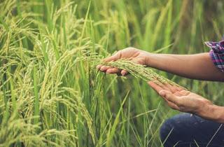 Hybrid Rice Varieties vs. Nonhybrid