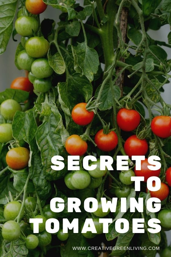 Get easy how to ideas and tips for growing tomatoes for beginners and intermediate gardeners. Whether you are growing tomatoes in pots, in a raised bed or a five gallon bucket, this article will answer all your questions about growing tomatoes vertically without needing to grow them in a greenhouse. These are the best secrets for how to grow the best tomatoes! #creativegreenliving #creativegreengarden #tomatoes #gardening