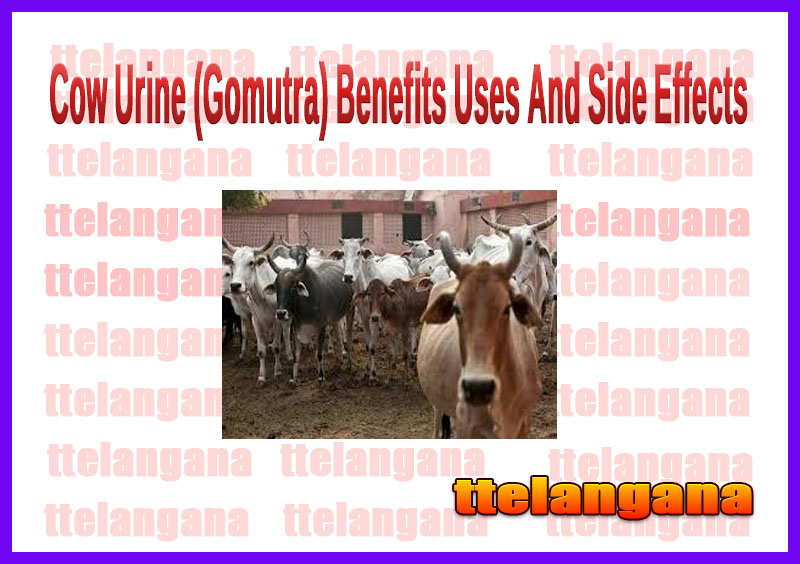 Cow Urine (Gomutra) Benefits Uses And Side Effects
