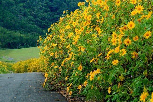 Vietnam: Young people race to take check-in photo with wild sunflowers in Ba Vi