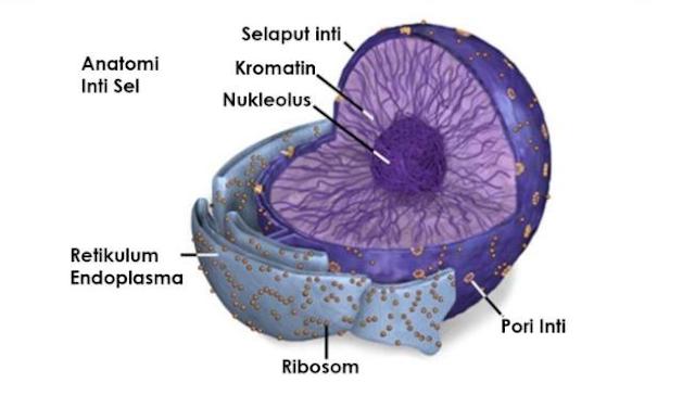 Gambar  . Nukleous