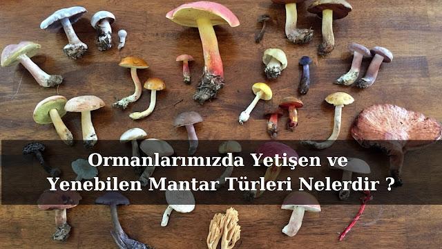 Türkiyede yetişen ve yenebilen mantarlar