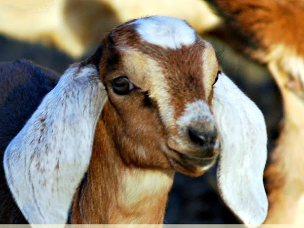 Goat Horns: to Disbud or Not to Disbud?