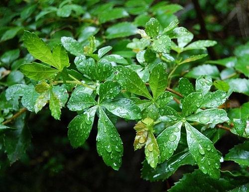 نبات الخميسة (الكرمة العذراء)