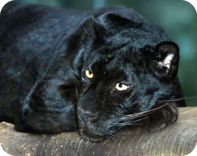fotos pantera negra