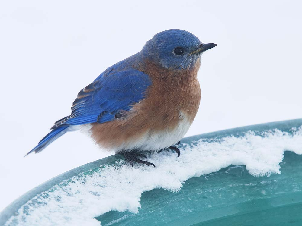 Eastern Bluebird male by Jeanne Selep