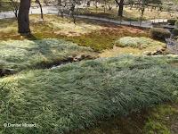 Moss, ground covers, but no lawn - Kenroku-en Garden, Kanazawa, Japan