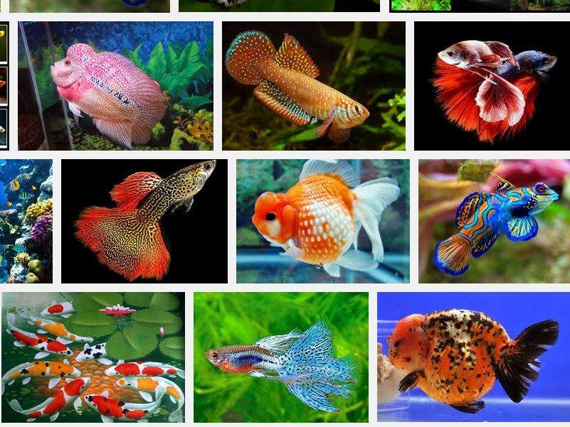 Jenis Ikan Hias Cantik dan Murah