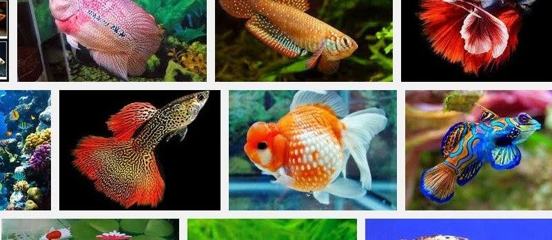 Jenis Ikan Hias Cantik dan Murah? Berikut Beberapa Nama dan Gambarnya