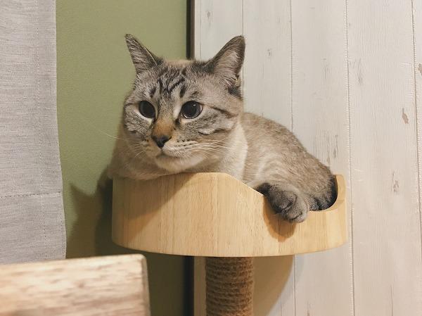 ウッディーインテリアスクラッチに収まっているシャムトラ猫