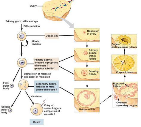 Proses Oogenesis Pada Wanita