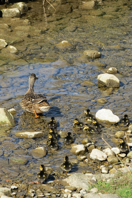 Duck walking through a rocky stream followed by her ducklings.