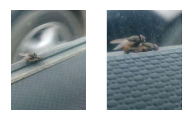 ممارسة الجنس عند الذباب