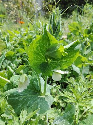 Maggio nell'orto biologico: pisello fiorito