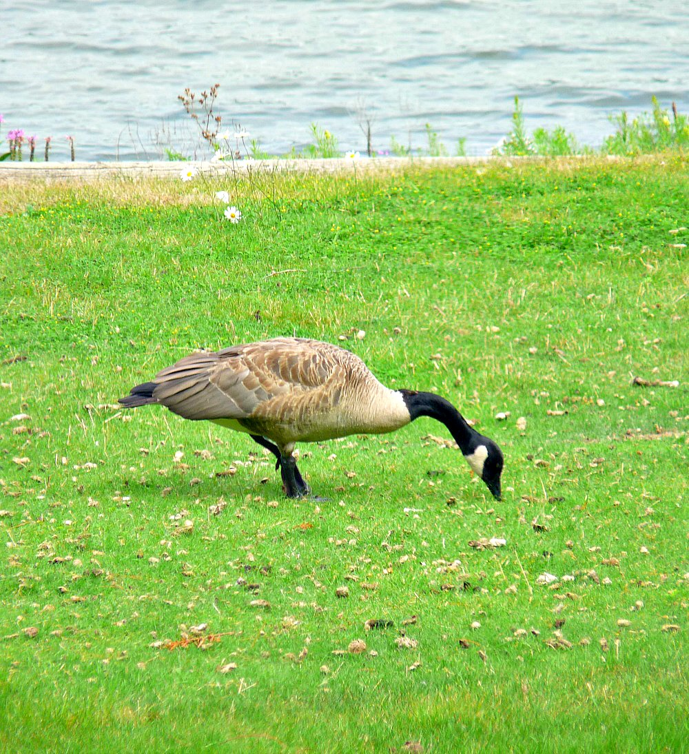 Canada Goose on Lawn