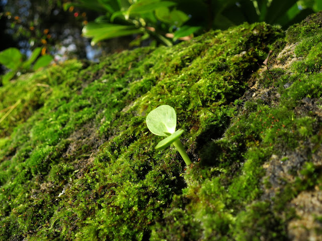 Seedling on mossy wall. 2nd November 2020