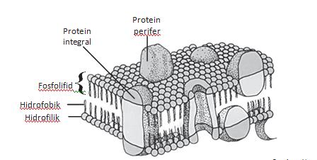 Struktur membran sel dan fungsinya biologi and scinece struktur membran sel dan fungsinya ccuart Choice Image