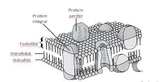 Struktur membran sel dan fungsinya