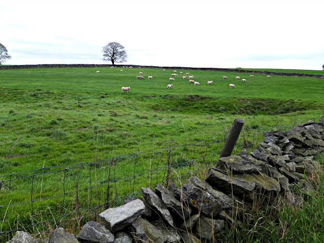 White sheep in a grassy field behind a dry stone wall.