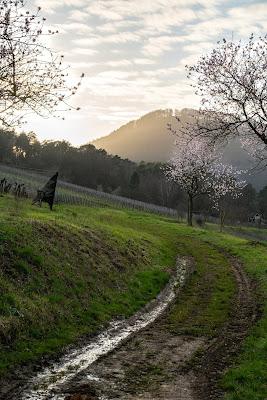 Pfälzer Mandelpfad | Etappe 05 Edenkoben – Birkweiler | Wandern Südliche Weinstraße | Mandelblüte Pfalz 21