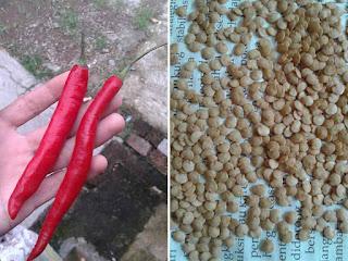 Membuat benih cabe sendiri dirumah