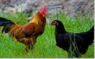 Ayam peliharaan / unggas (gallus gallus domesticus) - berbagaireviews.com
