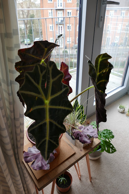 Best Plants To Get Your Studio, alocasia polly decor, alocasia polly home decor, holmbush flowers review, holmbush flowers etsy, holmbush flowers shop