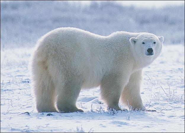the polar bear amazing animal informative facts. Black Bedroom Furniture Sets. Home Design Ideas