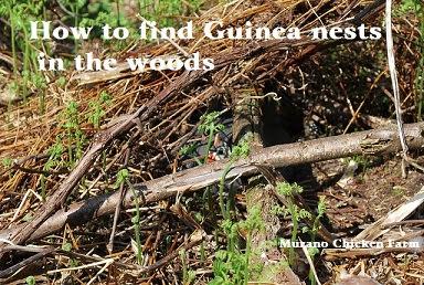 guinea eggs, hidden