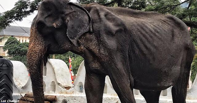 Истощённое тело голодающего старого слона скрыли за праздничным костюмом