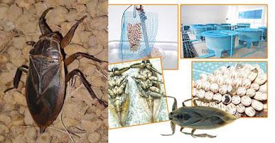 เลี้ยงแมงดานา แมลงเศรษฐกิจ สร้างรายได้งาม