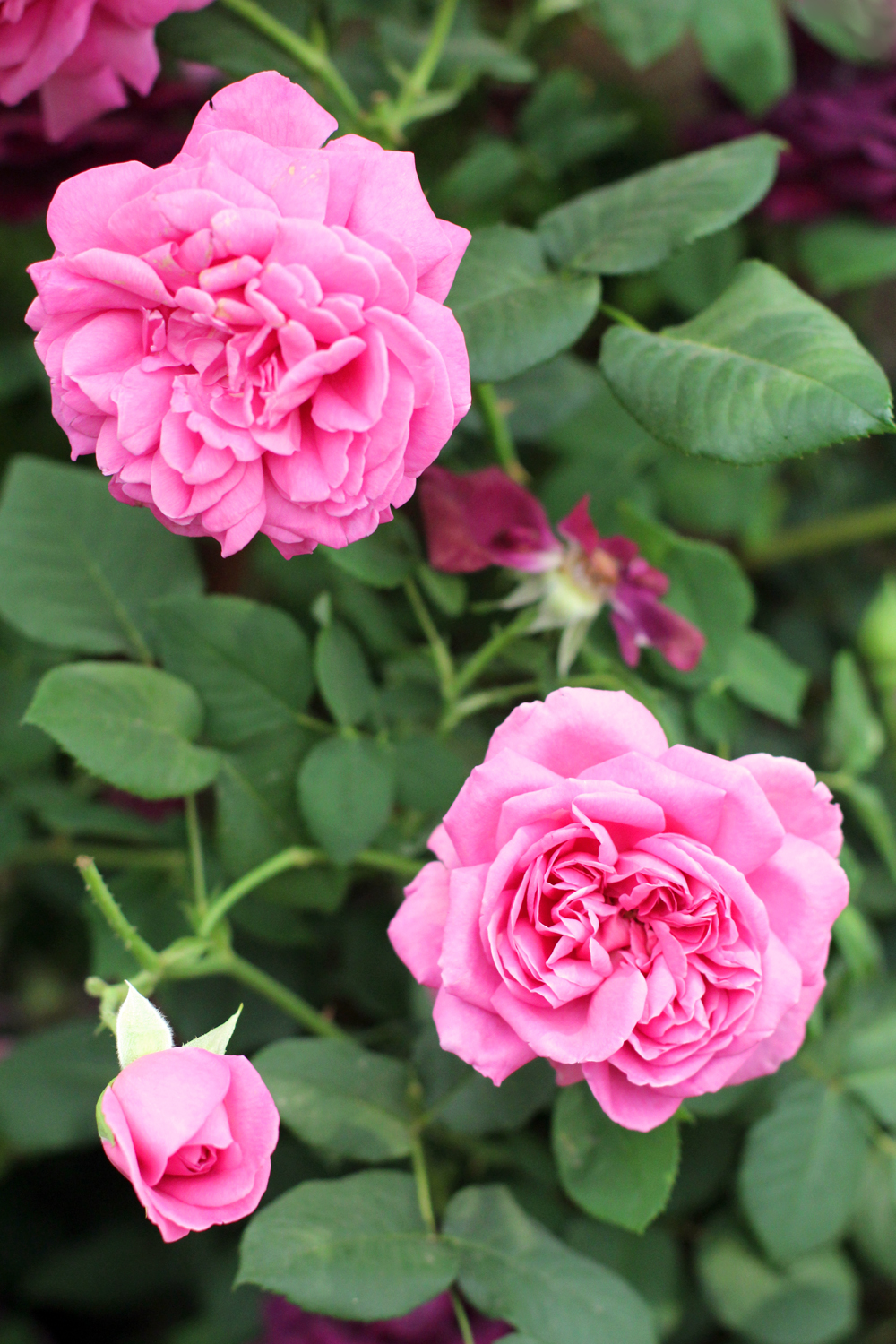 Pink rose at Chelsea Flower Show 2018 - London lifestyle blog