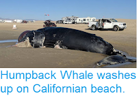 https://sciencythoughts.blogspot.com/2018/11/humpback-whale-washes-up-on-californian.html