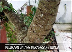 Pohon mangga agar cepat berbuah, begini caranya.