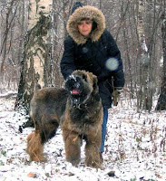 coloured black russian terrier standing near to it's owner