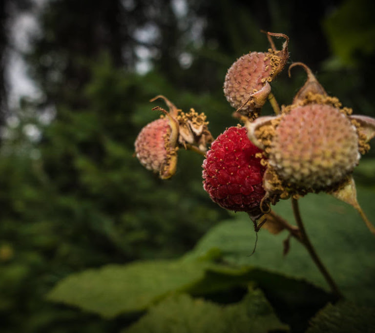 Thimbleberry - A Short Guide to this Marvellous Plant