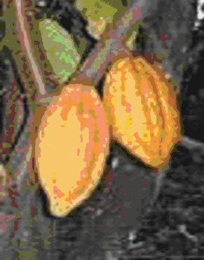 Gambar Buah kakao