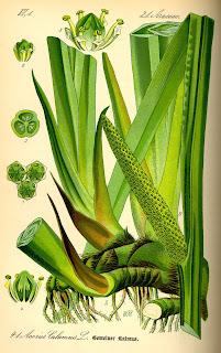 Illustration_Acorus_calamus0.jpg