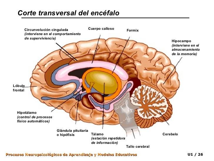 APRENDE y DISFRUTA con las CIENCIAS NATURALES: El Sistema Nervioso ...
