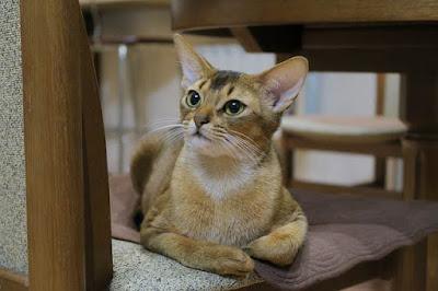 القط الحبشي  The abyssinian cat