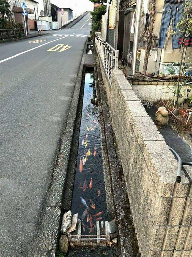 Koi fish, japan drain fish, koi in japan, fishes in japan