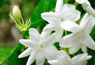Obat Vertigo Alami Yang Ampuh Dan Manjur Dari Tumbuhan